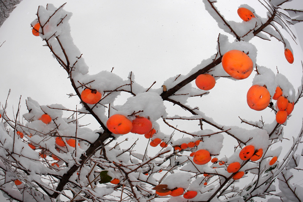 TELOS-Aussen-Garten-Obst-Kakibaum-Schnee-C06722bv.jpg