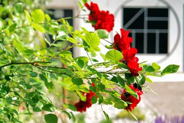 Rosen zur Begrüßung