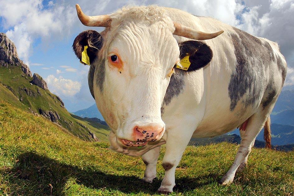 Tiere Kuh Rind Alm Gras Berge Peitler Kofel