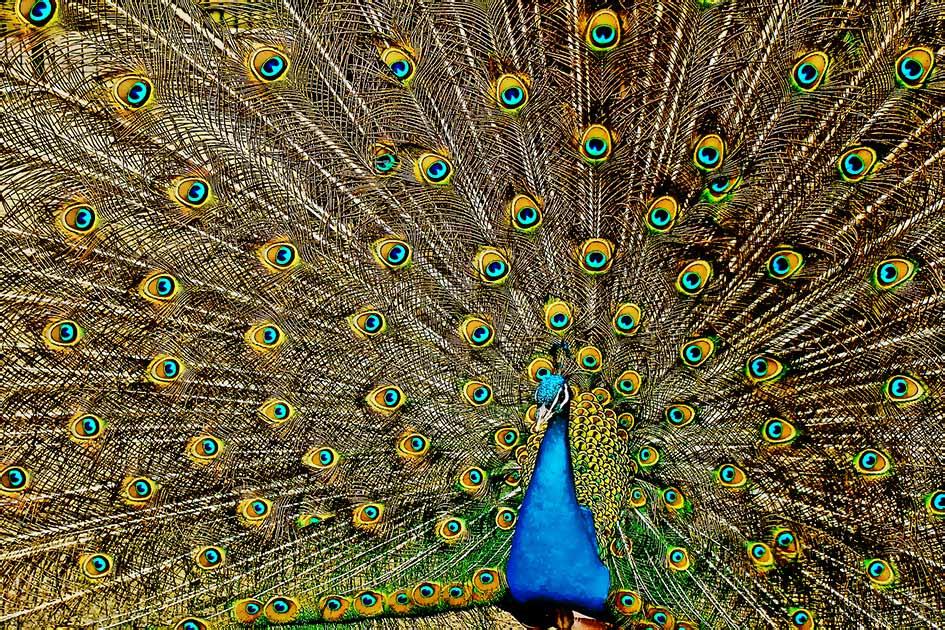 Tiere Vögel Pfau Rad schlagen bunt stolz / Bildbearbeitung: TELOS - 2833b